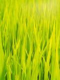 Autentiskt skott för grön risfältlantgård i THAILAND arkivbilder