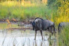 Autentyczni prawdziwi południe - afrykański safari doświadczenie w bushveld w gry rezerwie obraz royalty free