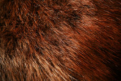 Authentic beaver fur Stock Images
