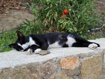 Authentic Black and White Cat Sleeping on Wall Royalty Free Stock Photography
