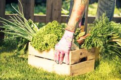 Authentic casual gardener sorting crop in crate box.  Royalty Free Stock Image