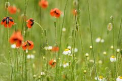 Free Authentic Floral Background Of White Daisies, Red Poppies, Beaut Stock Photos - 102093233