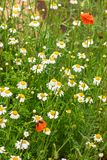 Authentic floral background of white daisies, red poppies, beaut. Iful wild flowers. Summer chamomile meadow in the garden on a Sunny day. As background with Stock Images