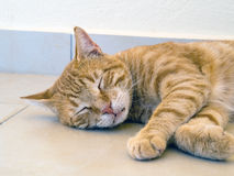 Authentic Ginger Cat Sleeping Stock Images