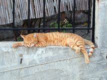 Authentic Ginger Cat Sleeping on Wall. Authentic, real world non-pedigree ginger tabby ally cat sleeping on concrete wall. The average cat sleeps 16 hours a day Royalty Free Stock Photography