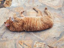 Authentic Ginger Tabby Cat Rolling on Paving Stones. An authentic stray ginger tabby ally cat with thick winter fur rolling and stretching on the paving of his Royalty Free Stock Photography
