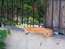 Authentic Ginger Tabby Cat Sleeping on Garden Wall. An authentic adopted stray ally rescue ginger tabby cat sleeping happily on a concrete garden wall Royalty Free Stock Photos