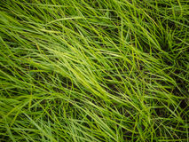 Authentic green grass background. Authentic natural soft green grass blades background Royalty Free Stock Image