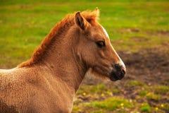 Authentic Icelandic horse Royalty Free Stock Photo