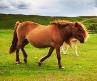 Authentic Icelandic horse Royalty Free Stock Image