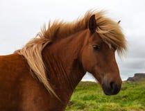 Authentic Icelandic horse Stock Photo