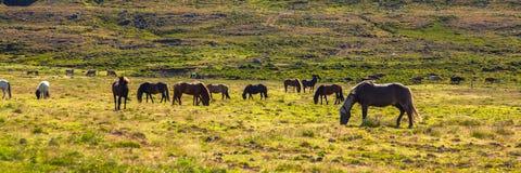 Authentic Icelandic horse Stock Photos