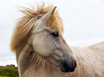 Authentic Icelandic horse Royalty Free Stock Images