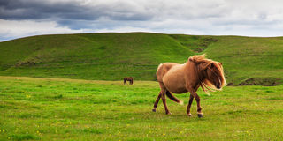 Authentic Icelandic horse Stock Photography