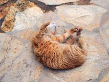 Authentic Ginger Tabby Cat Rolling on Paving Stones. An authentic stray ginger tabby ally cat with thick winter fur rolling and stretching on the paving of his Stock Photos