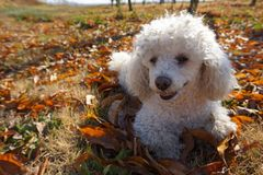 Authentic white poodle rests on the leaves stock images