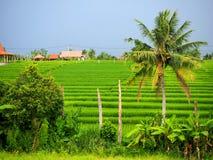 Authentiek groen padieveld in Canggu in Bali op een donkere dag royalty-vrije stock fotografie