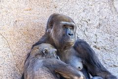 Authoritative Mother Gorilla and offspring. A female silverback gorilla with her young offspring shows the bond between mother and infant Stock Image