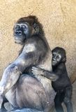 Authoritative Mother Gorilla and offspring. A female silverback gorilla with her young offspring shows the bond between mother and infant Stock Photo