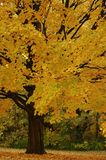 autmn δέντρο Στοκ Εικόνα