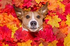 Autmn fall leaves dog Royalty Free Stock Photos