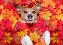 Autmn fall leaves dog stock photo