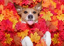 Autmn fall leaves dog. Jack russell dog , lying on the ground full of fall autumn leaves, looking at you sticking out the tongue, lying on the back torso stock photo