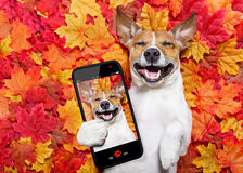Autmn fall leaves dog selfie. Jack russell dog , lying on the ground full of fall autumn leaves, lying on the back torso and taking a selfie with smartphone stock photo