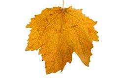 Autmn leaf. Image of a dry leaf representing the season autumn Stock Photo