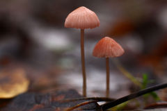 Autmn little mushrooms in leaves Stock Photo