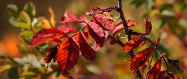 Autmn Wild Rose Leaves Stock Photos