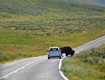 Auto avkastningar till buffeln Arkivfoto