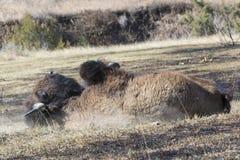 Auto da varredura do búfalo fora dos insetos fotos de stock