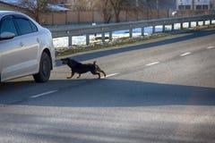 Auto, das einen tollwütigen Hund auf Straße in Angriff nimmt Lizenzfreie Stockfotografie
