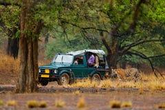 Auto met wilde tijger Vakantie in Ranthambore NP, India Eind van droog seizoen, beginnende moesson Tijger die op grintweg lopen n stock afbeelding