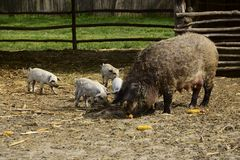 Autochthonous domestic pigs called Mangulica with pigs. Autochthonous domestic pigs called Mangulica with small pigs Royalty Free Stock Image