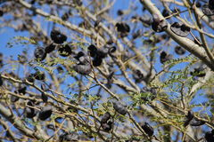 Autochthonous tree. Uruguayan and Argentine autochthonous tree branches Royalty Free Stock Image