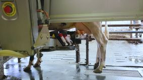 Automated black and white cow milking on technologic farm. Automated cow milking on technologic farm stock video