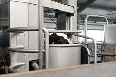 Automated cow milking stock images