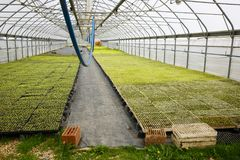 Automated greenhouse hall with young seedlings. Automated greenhouse hall with young green seedlings being grown. Agriculture industry, fresh produce, mass Royalty Free Stock Photo