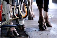 Automated milking - horizontal Stock Image
