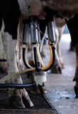 Automated milking - vertical Stock Images