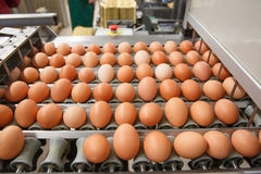 Automated sorting of raw and fresh chicken eggs. In a packing facility. Agribusiness, food production, organic farming, customer support and trade concept Royalty Free Stock Photography