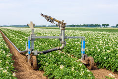 Automated sprinkler system in a large potato field. Rollaway automatic watering gun and a long water hose in a large field with flowering potato plants on a warm Stock Image