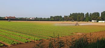 Automatic irrigation system for a field of green and fresh salad Royalty Free Stock Photo