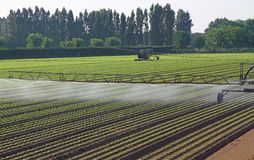 Automatic irrigation system for a field of green salad Stock Photos