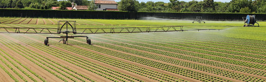automatic irrigation system of a lettuce field royalty free stock photo