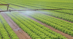 automatic irrigation system of a lettuce field in summer Stock Image