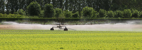 automatic irrigation system of a lettuce field in summer Stock Photos