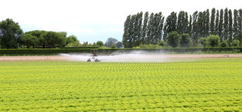 automatic irrigation system of a lettuce field in summer Royalty Free Stock Photo